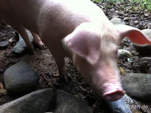 Schweinchen-Bild-m
