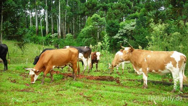 Rinderfarm mit glücklichen Kühen