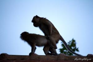 Frivole Affen auf unserem Dach