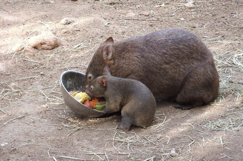 wombat via pixabay